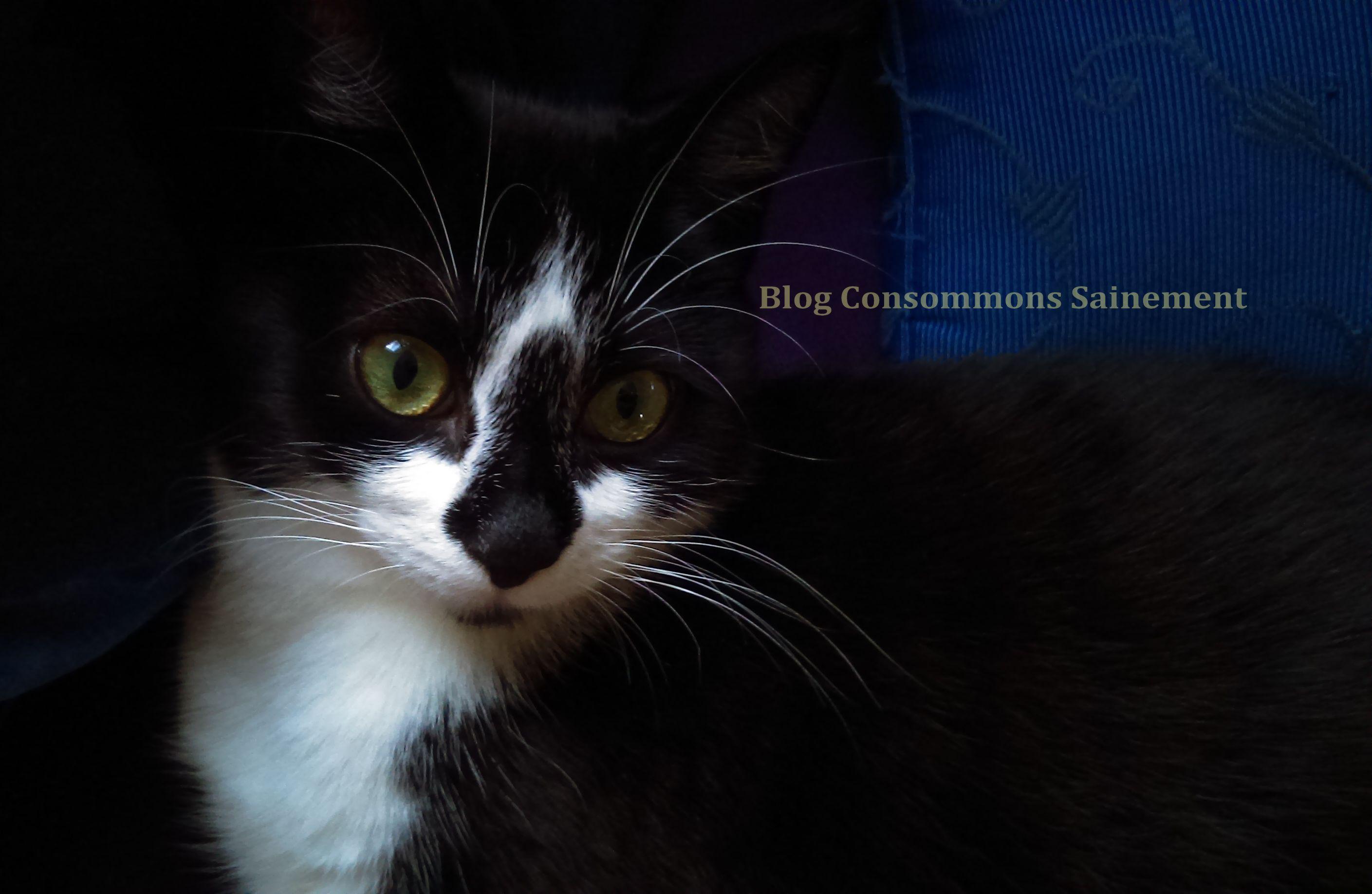 chat persan poids adulte béziers